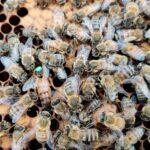 Apiculture ruches Nord Hauts-de-France abeilles essaim