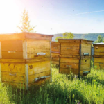 Apiculture ruches Nord Hauts-de-France miel